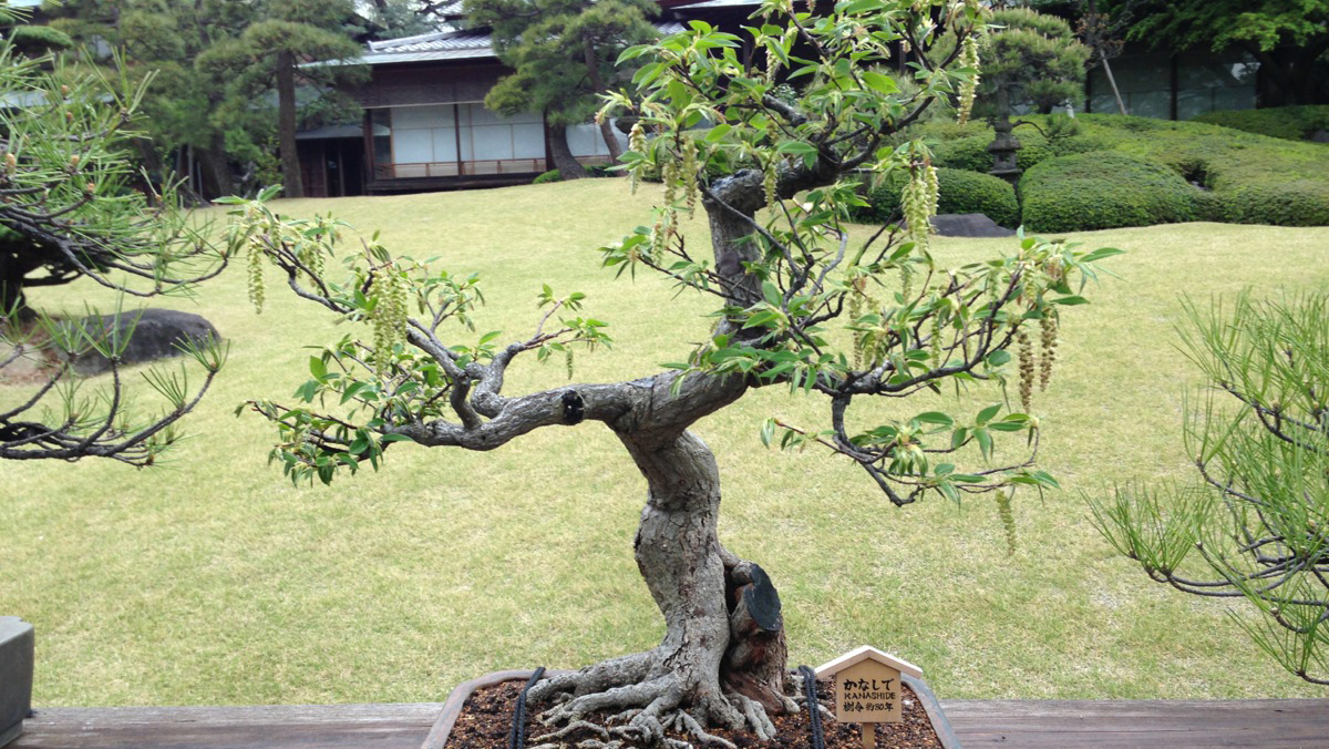 Bonsai cropped
