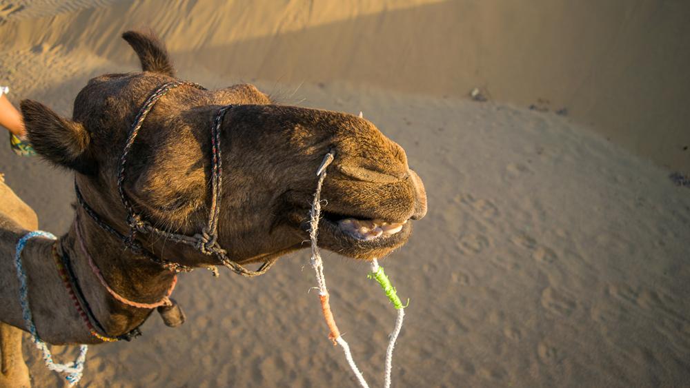 Camel Thar Desert cropped