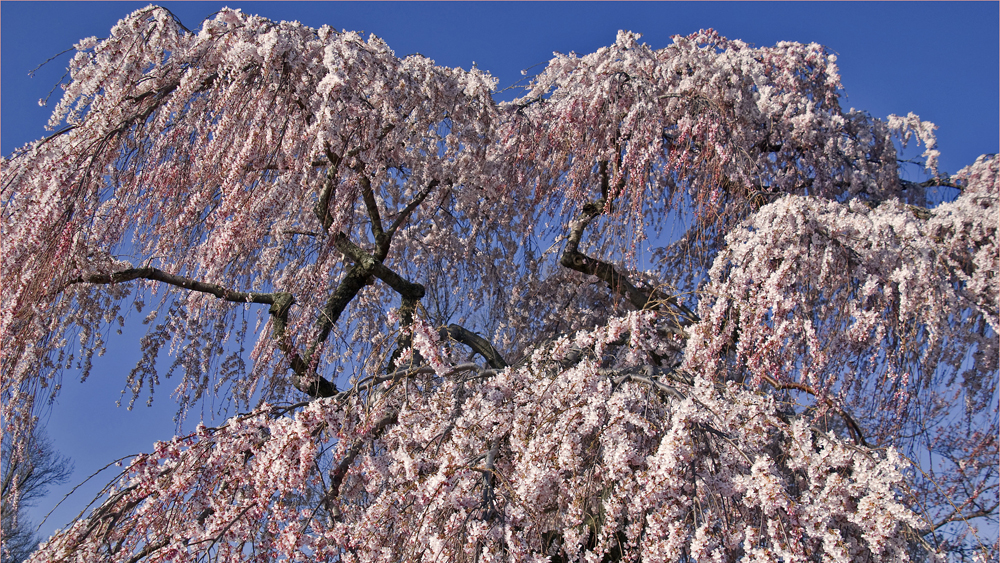 weeping cherry by Ron Cogswell cropped