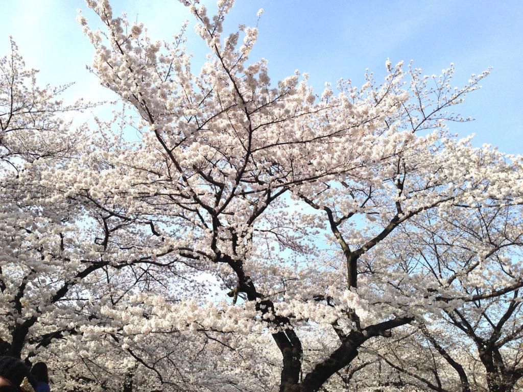 The Fine Line Between Sakura And Romance Savvy Tokyo