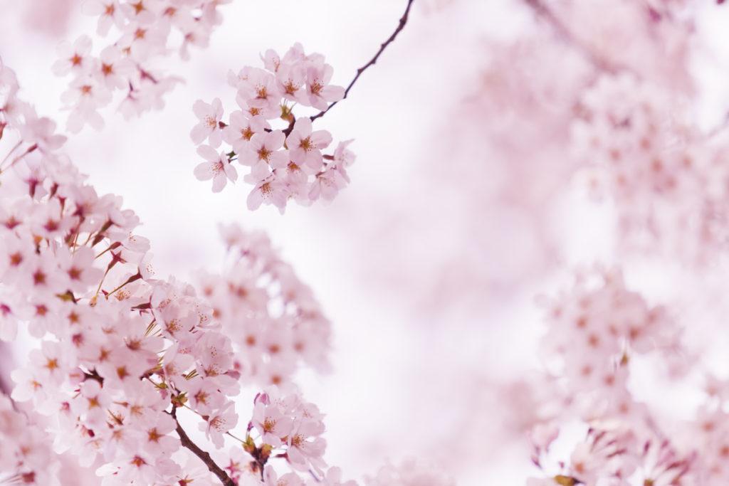 All Things Sakura 2020