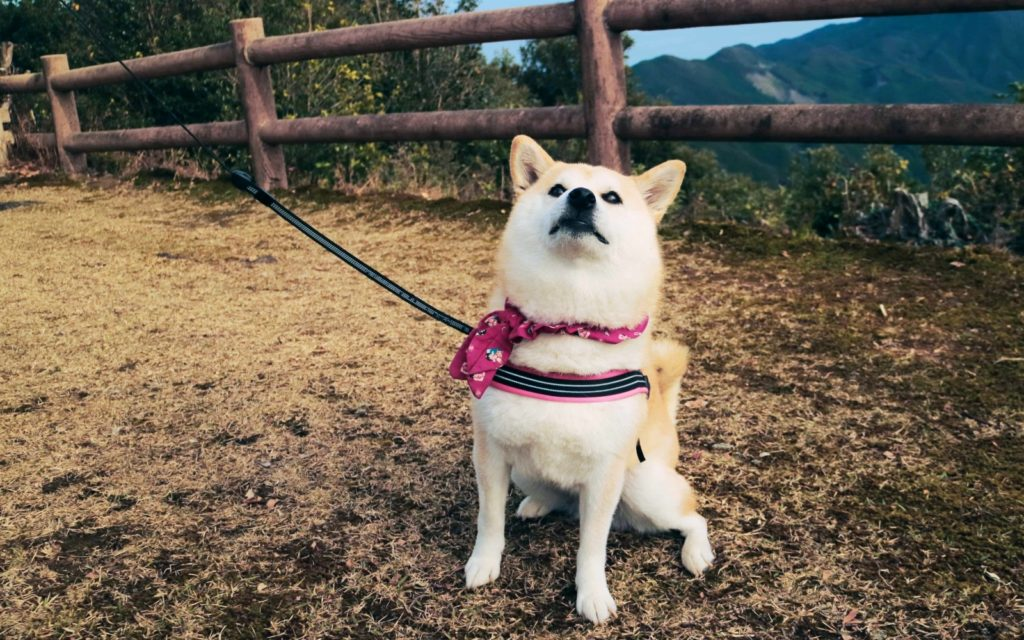 Female solo hiking along the Kumano Kodo local guide's shiba dog