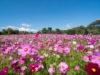 Cosmos Flower Festival