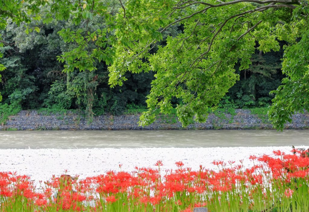 Spider Lilies Along Koma River - The Magical Red Spider Lilies of Kinchakuda