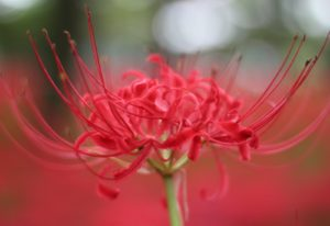 Spider Lily 1 - Spider Lilies - Child Looking At Flower - The Magical Red Spider Lilies of Kinchakuda