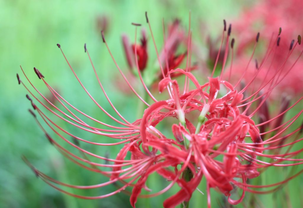 Spider Lily - The Magical Red Spider Lilies of Kinchakuda