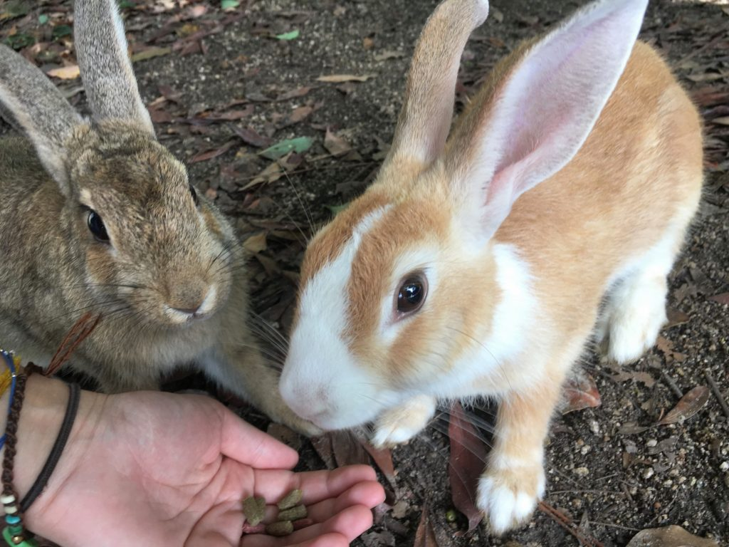 Ethical Animal Experiences Around Japan Rabbits on Okunoshima