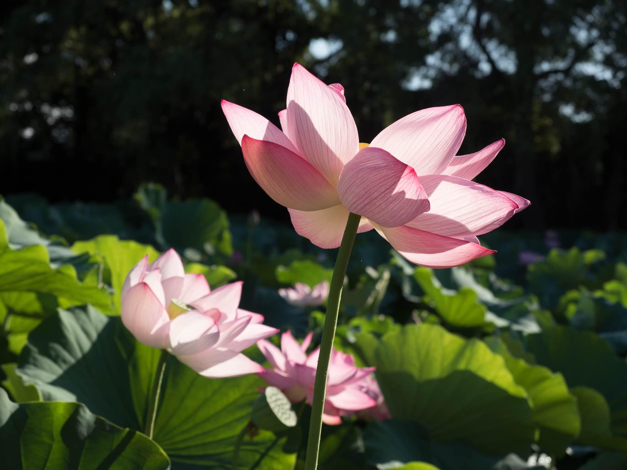 sankeien garden lotus