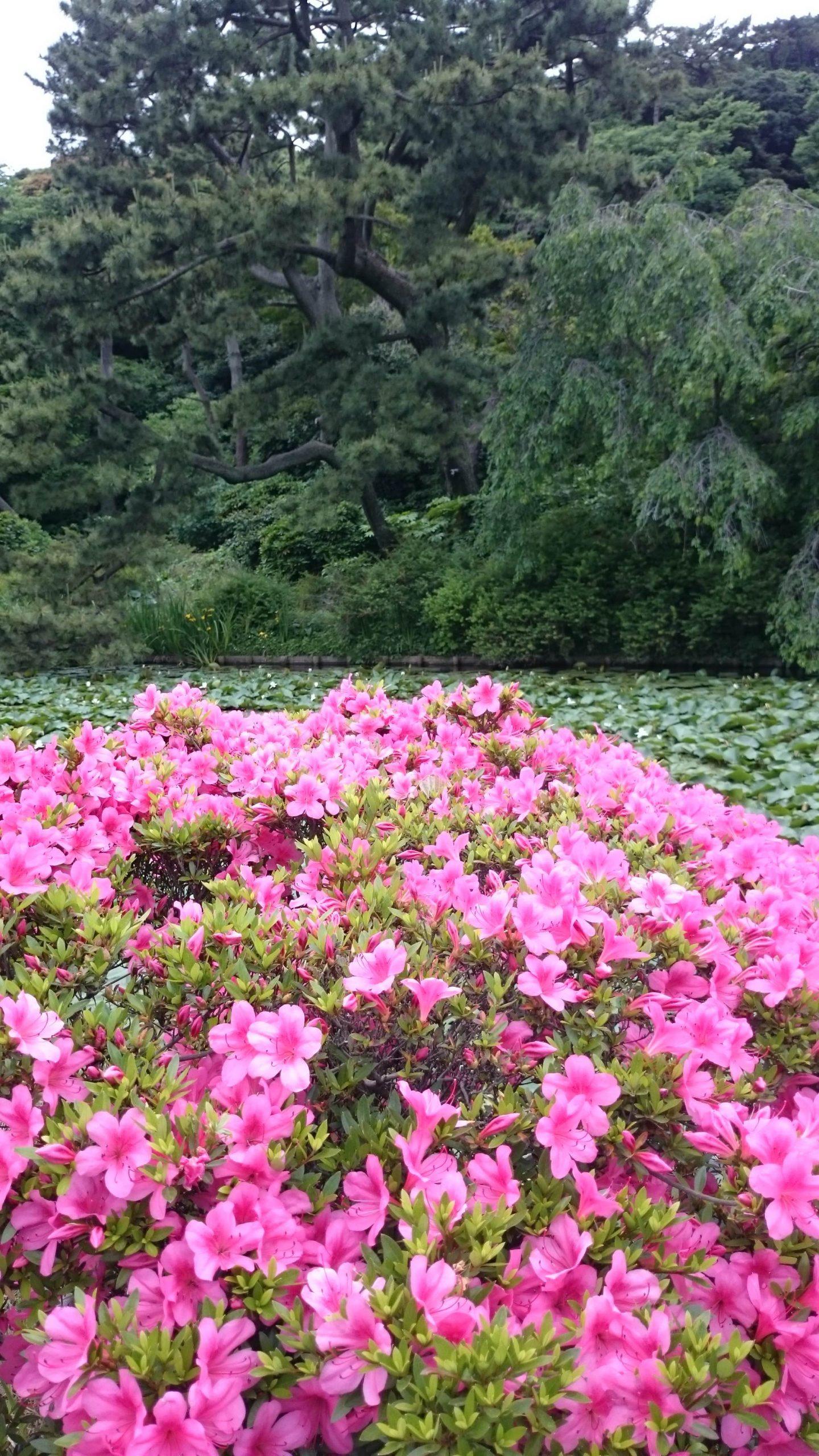 sankeien garden azaleas
